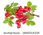 Ripe Red Rosehips On Thorny...
