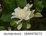 White Clematis Growing In A...