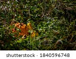 Ornamental Pumpkins In The...