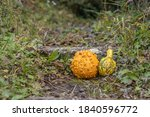 Ornamental Pumpkins On The...