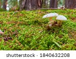 Two White Mushrooms With Hats...