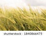 Yellow Ears Of Wheat Swaying I...