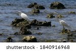 Great Egret On The Rock At The...