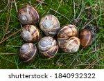 Snails Lie On Green Moss. Snai...