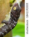 Multicolored Polka Dot Geckos...