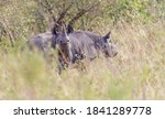 Two Black Rhinos In Etosha ...