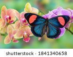 Moth Orchid  Phalaenopsis And...