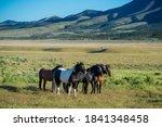 Wild Stallions Of Onaqui Herd...