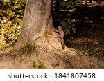 A Red Squirrel Climbs A Tree In ...