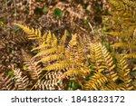 Yellowed Fern Leaf On A Blurred ...