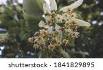 Flowering Linden Tree With...