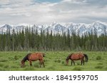 Red Horses Graze In The Meadow...