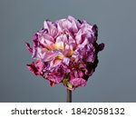 Dry Flower Of Dahlia Over Gray...