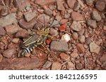 Green Milkweed Locusts Mating...