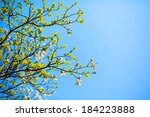 Branches Of Dogwood  Cornus...