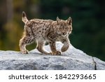 Lynx In Green Forest With Tree...