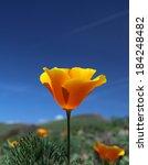 California Poppy Flowers  Big...