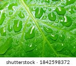 Raindrops Water On A Leaf Of A...