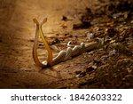 Two Non Poisonous Indian Snakes ...