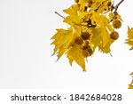 Gold Color Plane Tree Leaves...