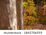 Cute Red Squirrel Climbing Tree ...