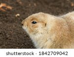Black Tailed Prairie Dog Side...