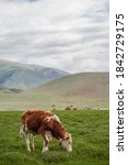 Small photo of A cow grazes in a meadow against the background of mountains and ails in the distance. Wildlife, rural life, province, livestock care. Forage lands. Beautiful landscape with green grass, hills and clo