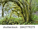 A beautiful view of a temperate rainforest tree covered in moss and surrounded by low growing lush green foliage - stock photo