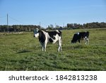 Grazing Black And White Cows I...