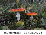 Two Beautiful Toadstools On The ...