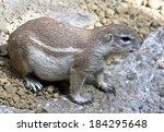 african ground squirrel. latin... | Shutterstock . vector #184295648