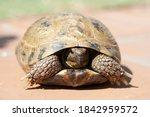 Russian Tortoise Outside On A...