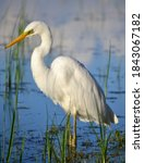 White Egret. Ardea Alba. At The ...