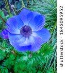 Blue Poppy Anemone In Garden....