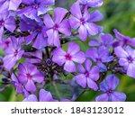 Closeup Of Pretty Purple...