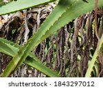 Close Up Of Aloe Leaves. Old...