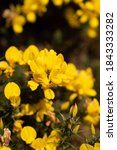Whether You Know It As Gorse ...