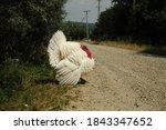 A Large White Beautiful Turkey...
