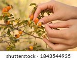 Woman Picking Brier Berries Off ...