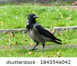 The Hooded Crow  Corvus Cornix