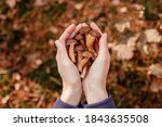 Mushrooms In Hands. Picking...