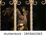 Small photo of Portrait of a beautiful dog (watchdog) behind the gate (who stands guard) with focus in the nose