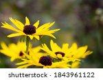 Beautiful Yellow Coneflowers ...