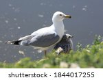 An Adult Ring Billed Gull ...