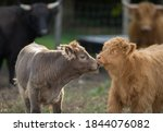 Two Baby Cows Scottish Highland ...