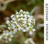 Desert Perpperweed  Lepidium...