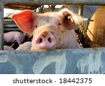 Cute young pig overlooking the fence of the stable - stock photo