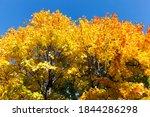 Maple Foliage In The Autumn...