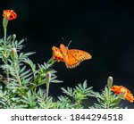 Gulf Fritillary Butterfly On...