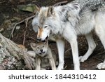 Small photo of Timber wolf pups, gray wolf face and profile (My Dad is tougher than your dad)